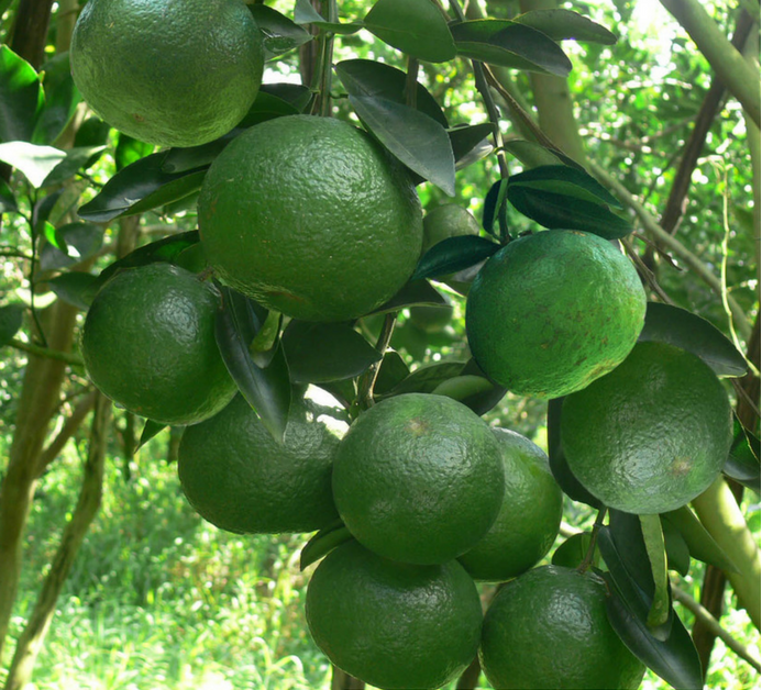 Haifa Multi Protek giúp quả chín nhanh, nâng cao phẩm chất cây trồng.