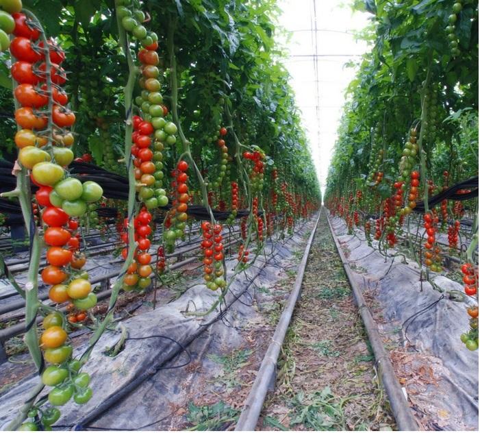 HAIFA MULTI-K sử dụng cho cà chua