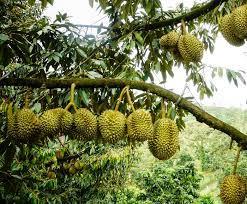 chăm sóc sầu riêng giai đoạn nuôi trái