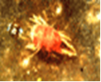 nhện đỏ trên cây sầu riêng