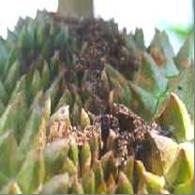 sâu đục trái cây sầu riêng