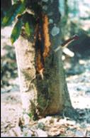 Bệnh thối gốc chảy nhựa trên cây sầu riêng