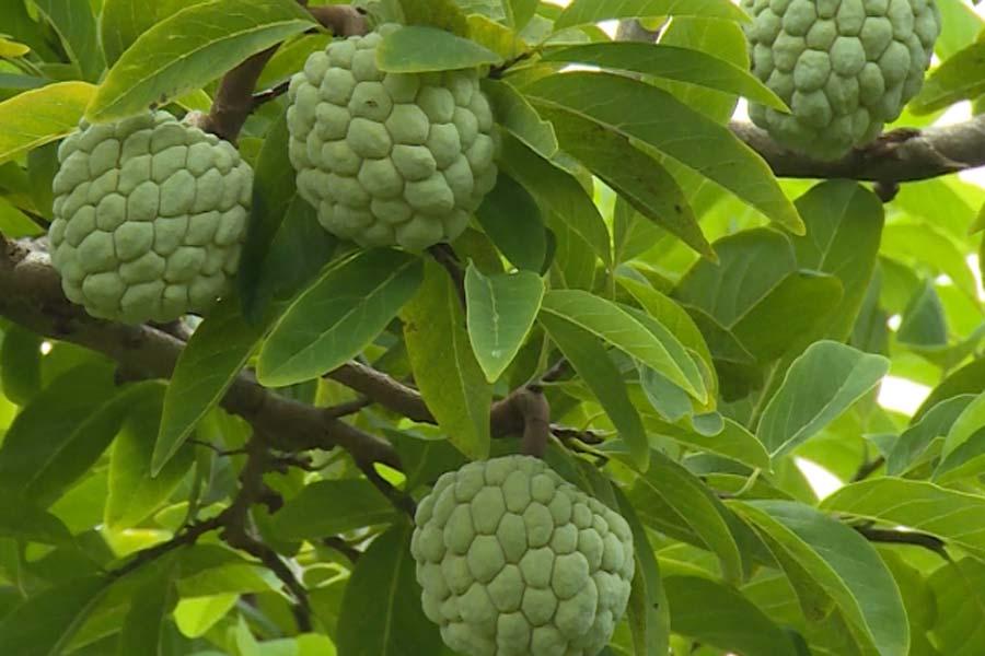 Một số bệnh hại thường gặp trên cây mãng cầu na và cách phòng ngừa